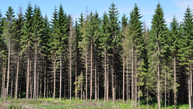 Singler Neunburg foran skogen